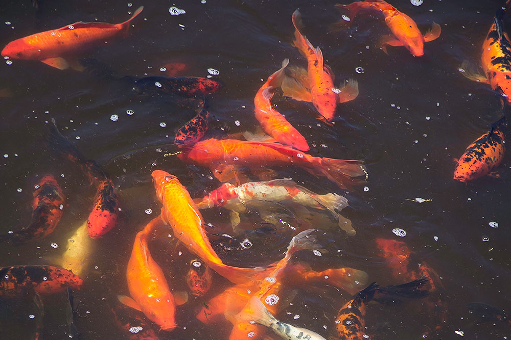 koi in koi pond