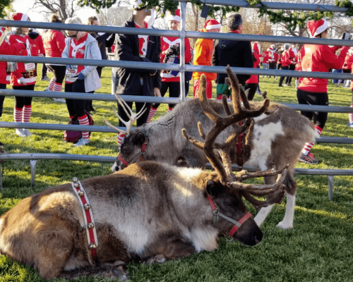 two reindeer in display