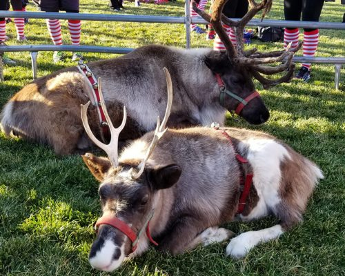 two reindeer laying down